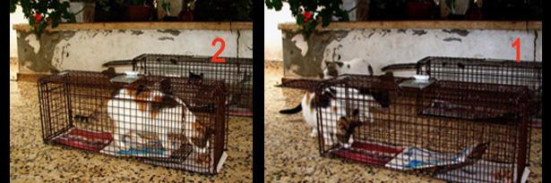 איסוף חתולים לעיקור וסירוס