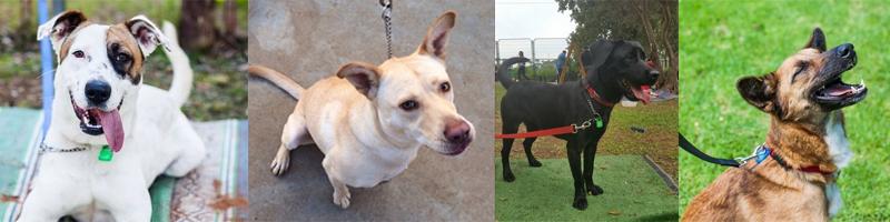 4 תמונות של כלבים ברוצועה מסתכלים למצלמה