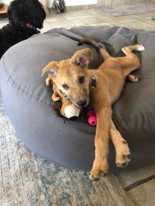 גור כלב קטן בצבע דבש שוכב על פוף אפור גדול עם צעצועים